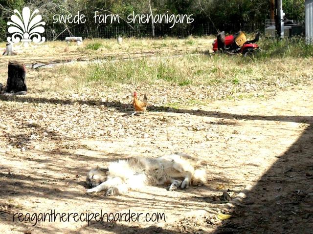 swede farm trip | reagantherecipehoarder.com